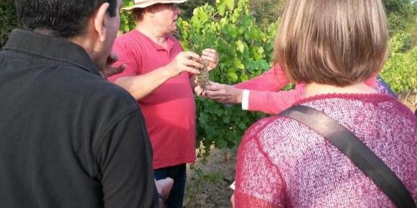 Tast de raïm a les vinyes